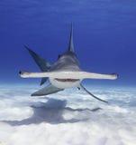Großer Hammerhai-Haifisch lizenzfreies stockbild