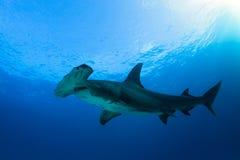 Großer Hammerhai-Haifisch lizenzfreie stockfotografie