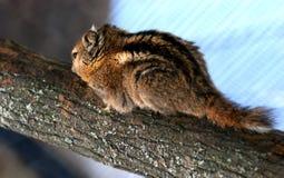 Großer Hamster Lizenzfreie Stockbilder