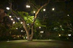 Großer hawaiischer Baum mit Lichtern auf ihm nachts Lizenzfreies Stockfoto