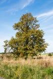 Großer Herbstbaum Stockbild