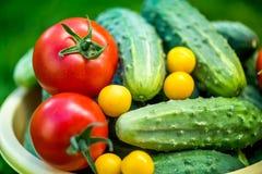 Großer Herbsternte Schuss des Eimers frisch ausgewählter reifer roter Tomaten, Gurken und kleiner gelber Pflaumen Stockfoto