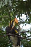 Großer Hornbill Stockfotos