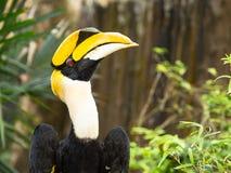Großer Hornbill Lizenzfreie Stockfotografie