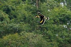 Großer Hornbill lizenzfreies stockbild