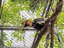 Großer Hornbill gehockt auf einer Anmeldung der Käfig stockfoto
