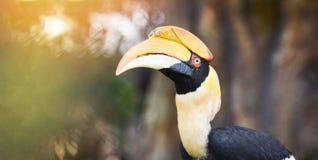 Großer Hornbill im Nationalpark schönen Vogel großen indischen Hornbill stockfotografie