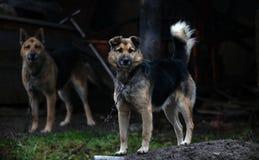 Großer Hund auf einer Eisenkette stockbild