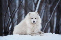 Großer Hund, der auf Schnee im Winter liegt Stockfotos