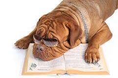 Großer Hund, der ein Buch liest Stockbild