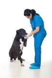 Großer Hund, der seinem Doktor Tatze gibt Stockfotografie