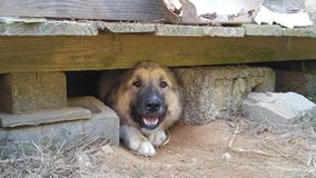 Großer Hund, der unter hölzerner Scheune sich versteckt Stockbild