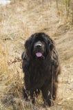 Großer Hund, der Zunge zeigt lizenzfreie stockfotografie