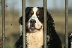 Großer Hund hinter dem Tor Stockbild