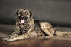 Großer Hund im Studio stockfoto