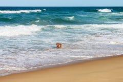 Großer Hund mit Zunge hangingn, das heraus in der Brandung nahe Strand mit Wellen mit den whitecaps rollen herein vom Horizont sp lizenzfreie stockfotografie