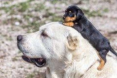 Großer Hund und Terrierwelpe lizenzfreie stockbilder
