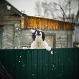 Großer Hund am Zaun Stockfoto