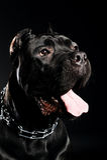 Großer Hundeitalienisches Stock corso Stockfotos