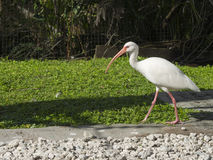 Großer IBIS-Vogel Stockfotos