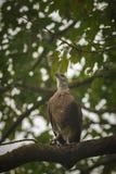 Großer indischer Fischadler, der auf einem Baum und einer Wartezeit sitzt Lizenzfreies Stockbild