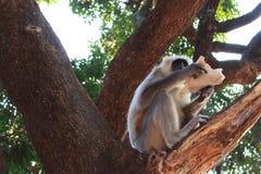 Großer indischer grauer Affe mit dem langen Schwanz, der auf Baum sitzt und als wildes asiatisches Dschungellebenkonzept isst Lizenzfreies Stockbild