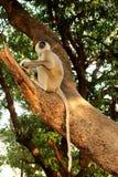 Großer indischer grauer Affe mit dem langen Schwanz, der auf Baum sitzt und als wildes asiatisches Dschungellebenkonzept isst Stockfoto