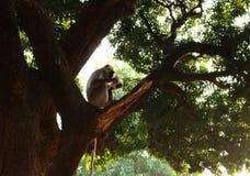 Großer indischer grauer Affe mit dem langen Schwanz, der auf Baum sitzt und Papier auf schönem wildem asiatischem Dschungelhinter Lizenzfreie Stockfotos