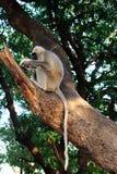 Großer indischer netter grauer Affe mit dem langen Schwanz, der auf Baum sitzt und als wildes asiatisches Dschungellebenkonzept i Stockbilder