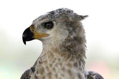 Großer Jägervogel Headshot mit großem Auge Stockfoto