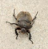 Großer Käfer Lizenzfreies Stockfoto