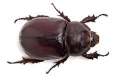 Großer Käfer Lizenzfreie Stockfotos