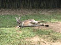Großer Känguru im Zoo lizenzfreies stockbild