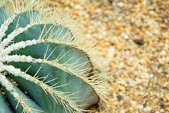 Großer Kaktus auf dem Sand in der Blumenhaube Lizenzfreie Stockfotos