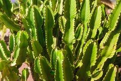 Großer Kaktus in der Wüste Grüner Kaktus mit den Dornen Bewohner- der Kanarischen Inselnspurge stockbilder