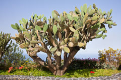 Großer Kaktus am La Palma, Spanien Stockfotos