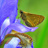 Großer Kapitän des Schmetterlinges auf Iris sibirica Lizenzfreie Stockfotos