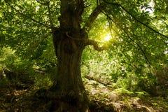 Großer Kastaniebaum Lizenzfreies Stockfoto
