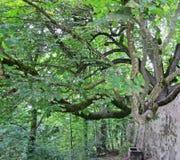 Großer Kastaniebaum Stockbilder