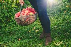 Großer Korb von Äpfeln Stockfotografie