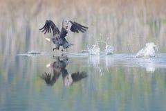 Großer Kormoran in einem See Lizenzfreie Stockfotografie