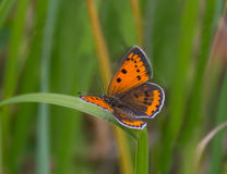 Großer kupferner Schmetterling Stockfoto