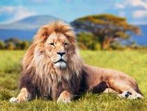 Großer Löwe, der auf Savannengras liegt Lizenzfreies Stockfoto