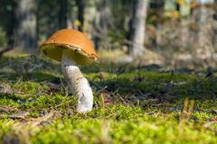 Großer Leccinum wächst im sonnigen Wald stockfotografie