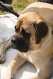 Großer liegenhund Stockfoto