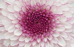 Großer lila Hintergrund des Blumenabschlusses oben - Lizenzfreies Stockbild