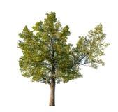 Großer Lindenbaum lokalisiert auf Weiß Stockfoto
