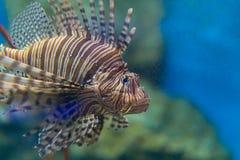 Großer Lion Fish im Aquarium Stockbilder