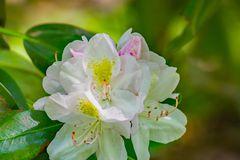 Großer Lorbeer - Rhododendronmaximum lizenzfreie stockbilder