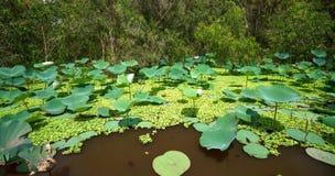 Großer Lotosteich im Naturreservat Lizenzfreies Stockbild